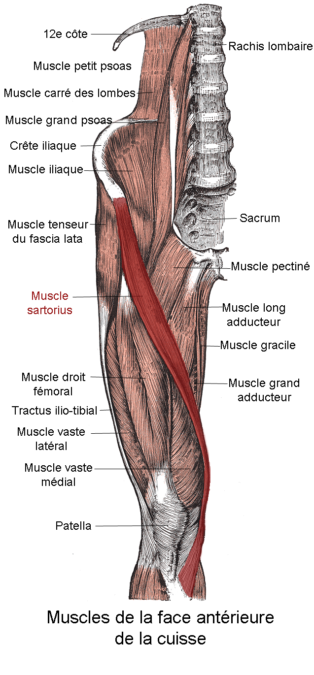 Pictures Of Sartorius Muscle Kidskunstfo