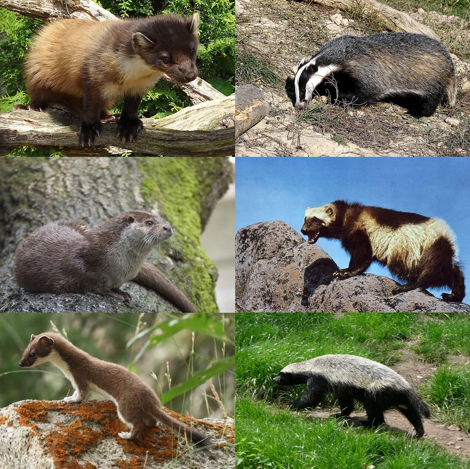 Mustelidae - Wikipedia