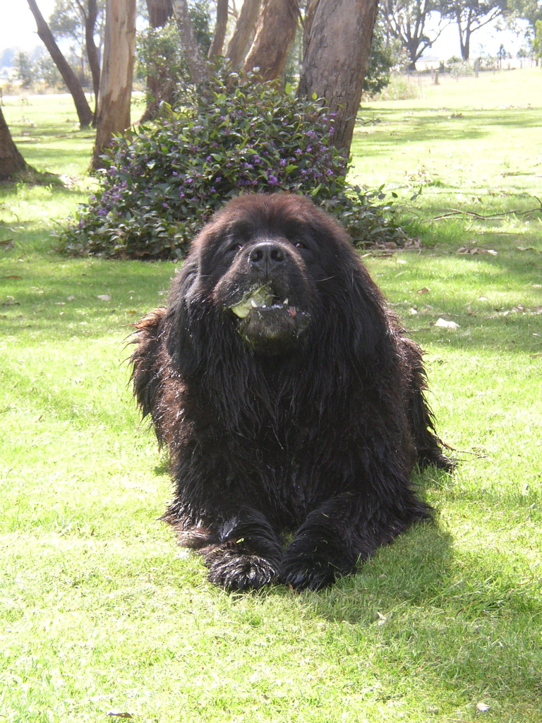 Can Newfoundland Dogs Live On Army Base