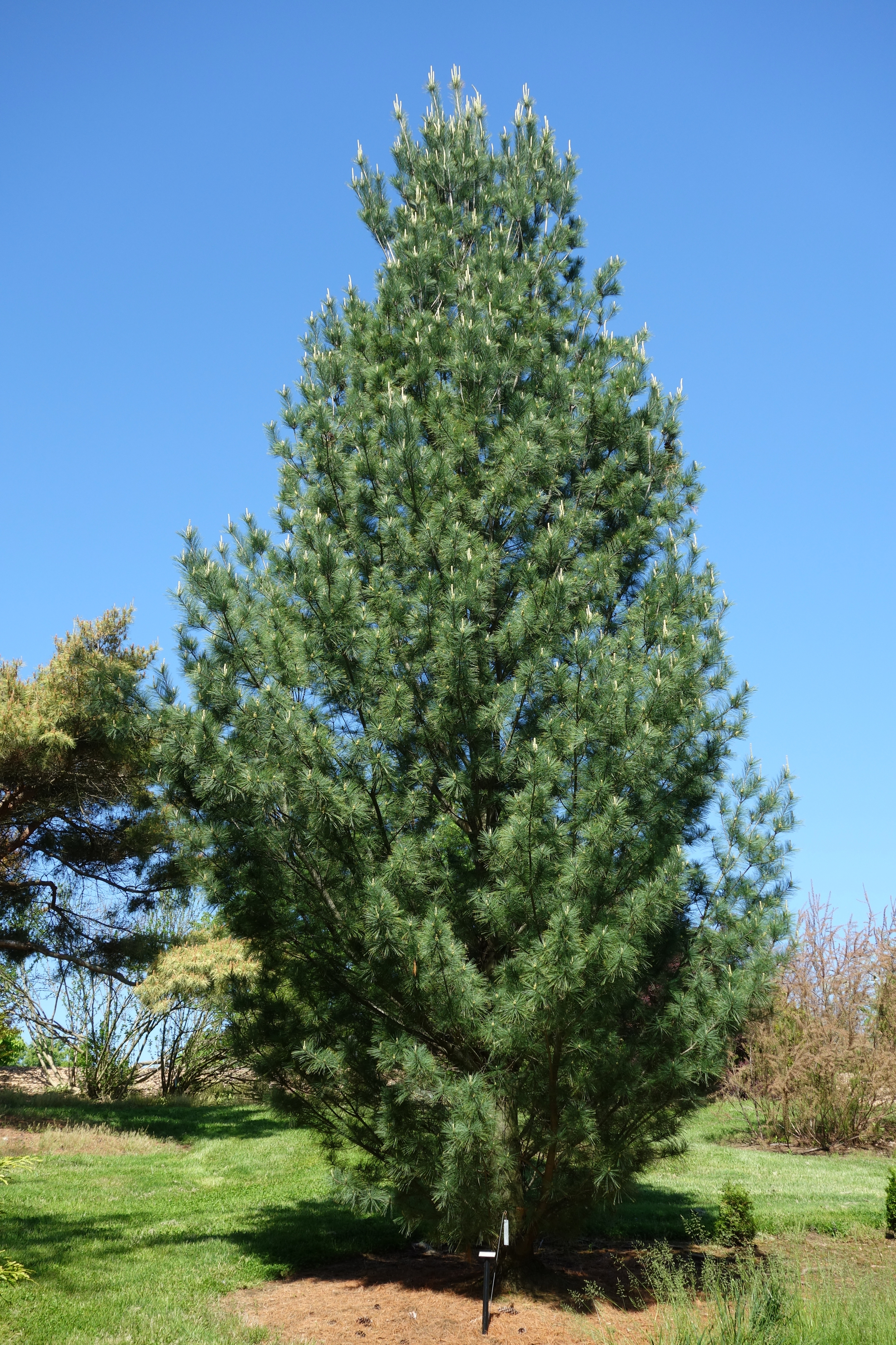 Image Result For Pine And White