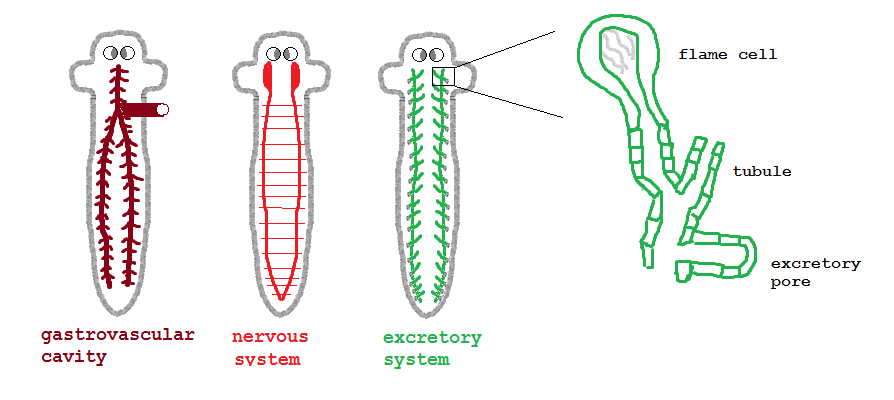Fileplanaria Systemsg Wikimedia Commons
