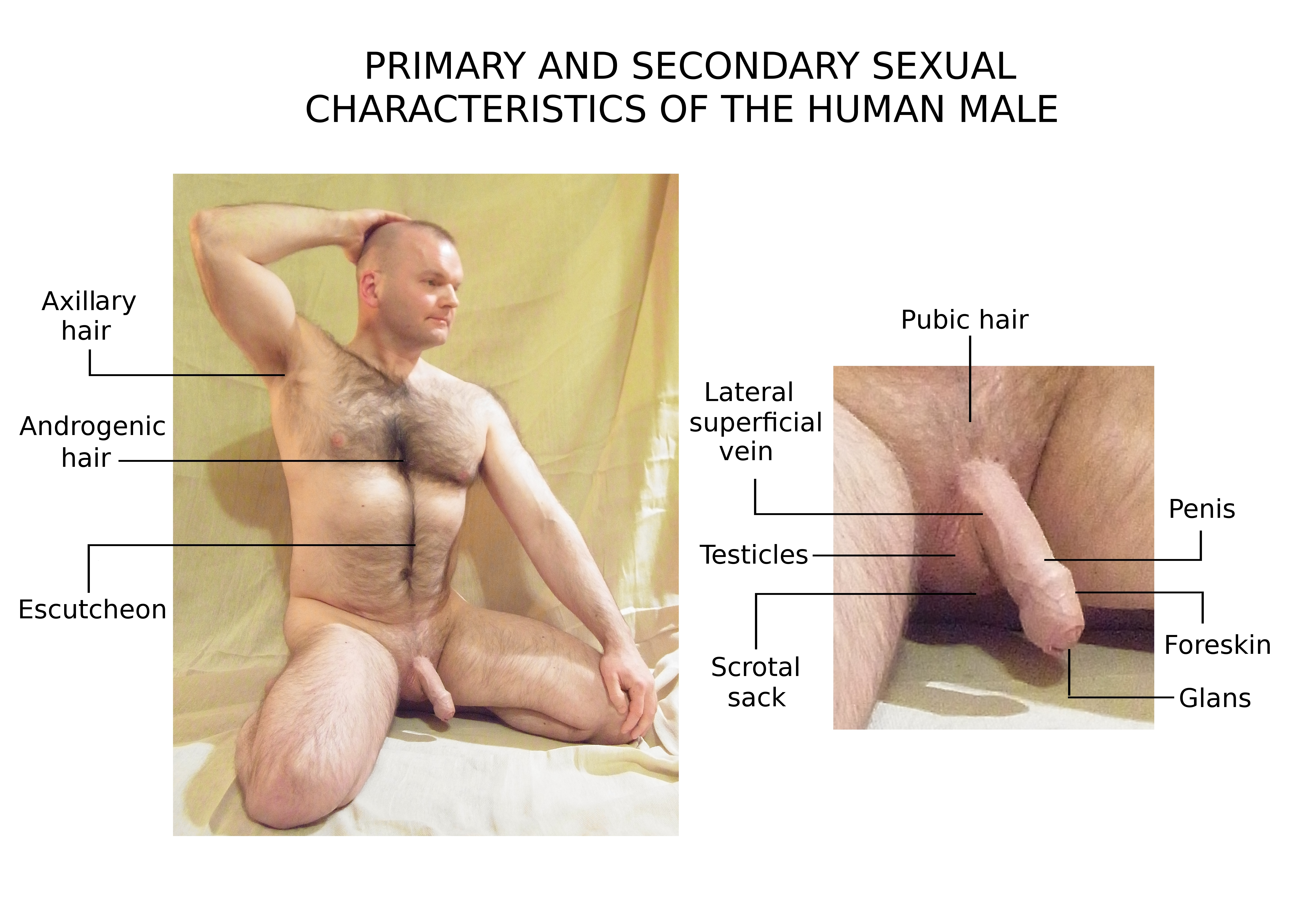 secondary-sex-characteristics-of-males
