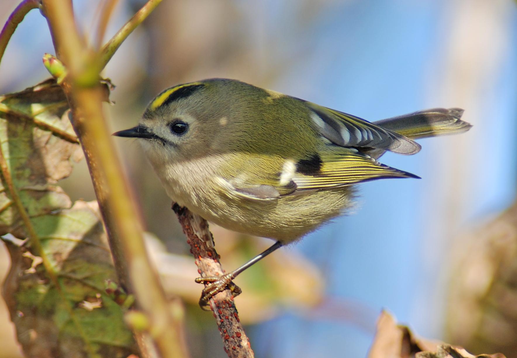 File regulus regulus wikimedia commons for Oiseau jaune et noir