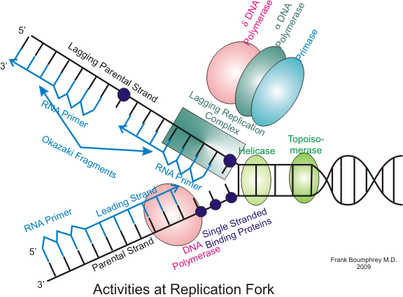 Dna Replication Diagram Eukaryotic DNA replica...