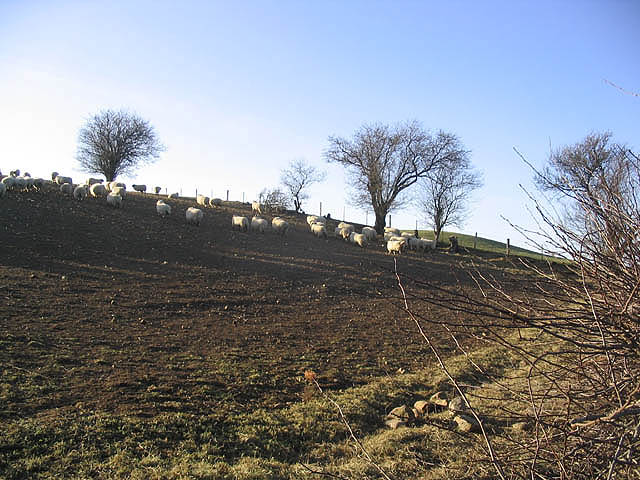 File:Sheep in turnip field - geograph.org.uk - 327375.jpg