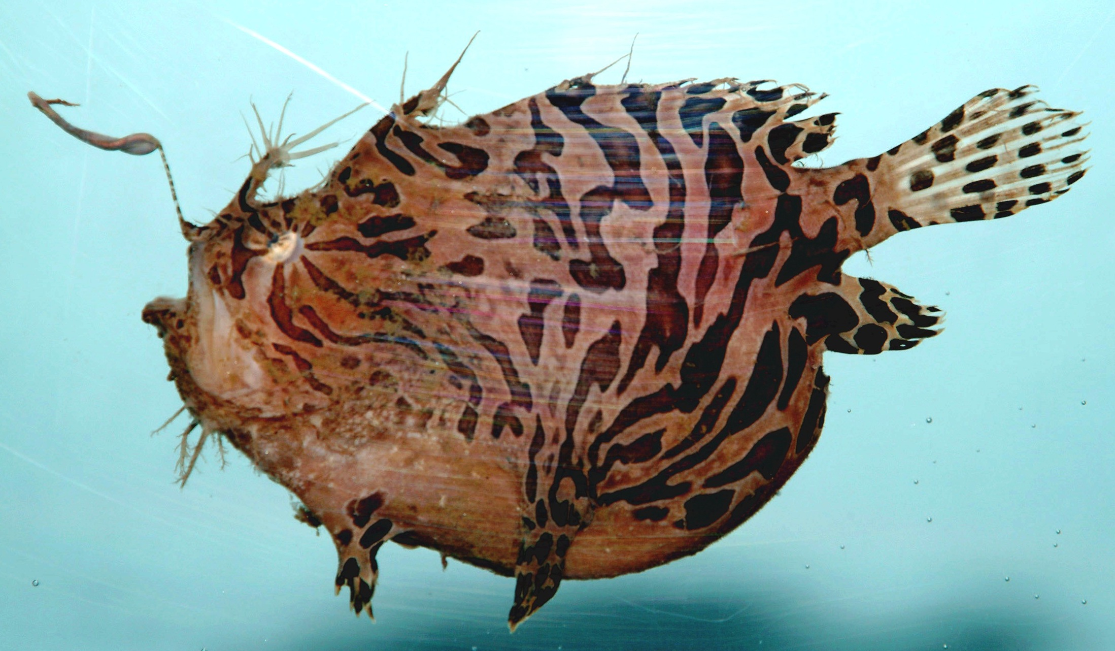 File striped anglerfish antennarius striatus jpg for What is an angler fish