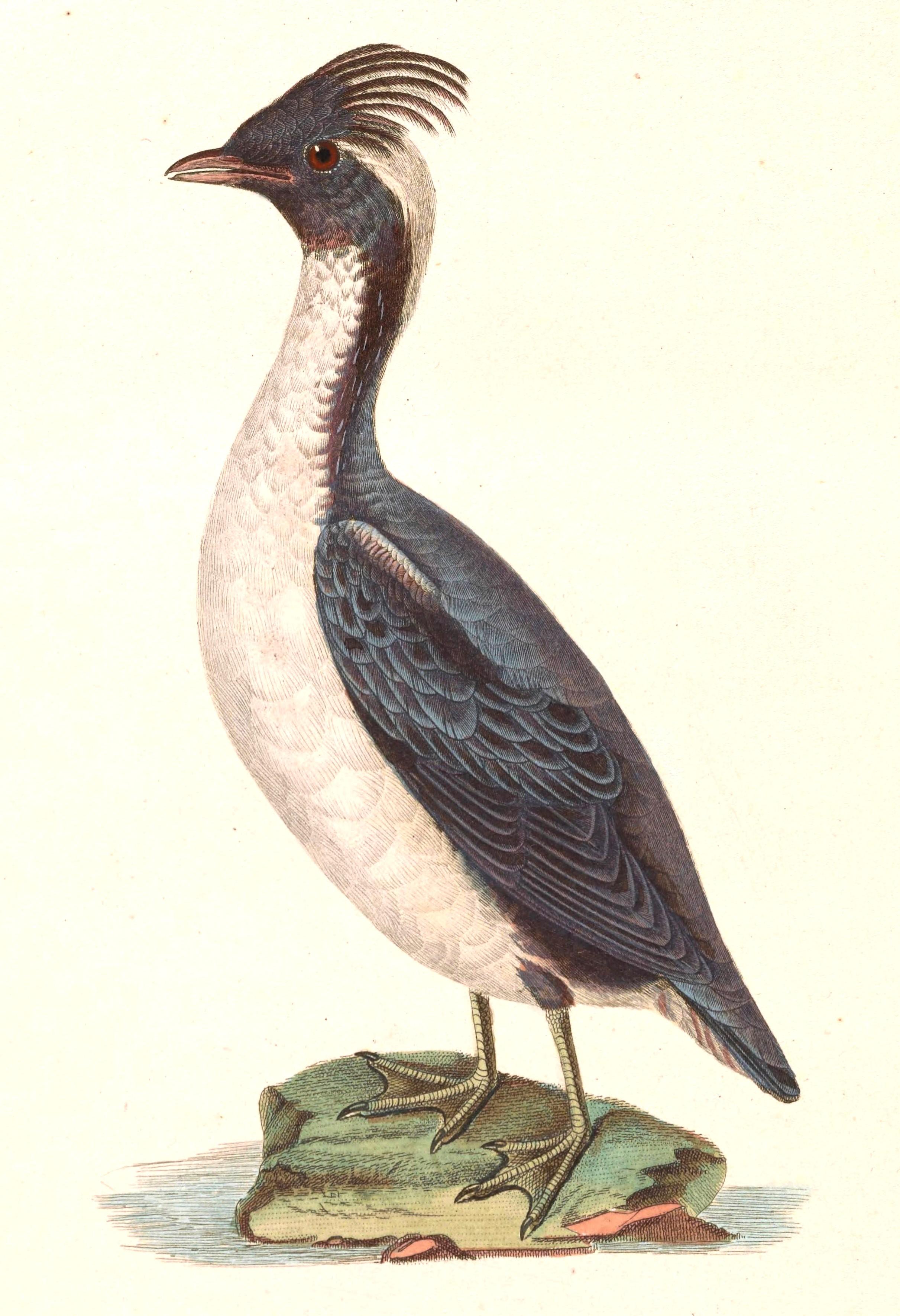 Synthliboramphus Wikipedia