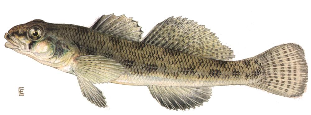 Redline Darter (Etheostoma rufilineatum) | Freshwater Aquatics ...