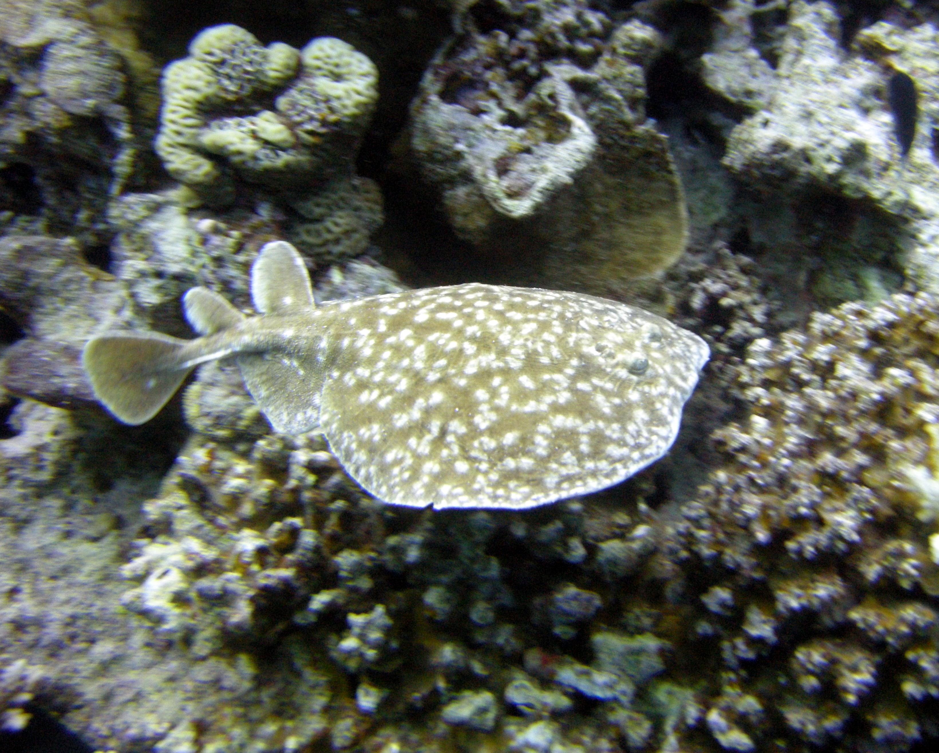 File Torpedo Panthera Red Sea2 Jpg Wikimedia Commons