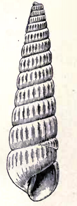 Turbonilla belotheca 001.png