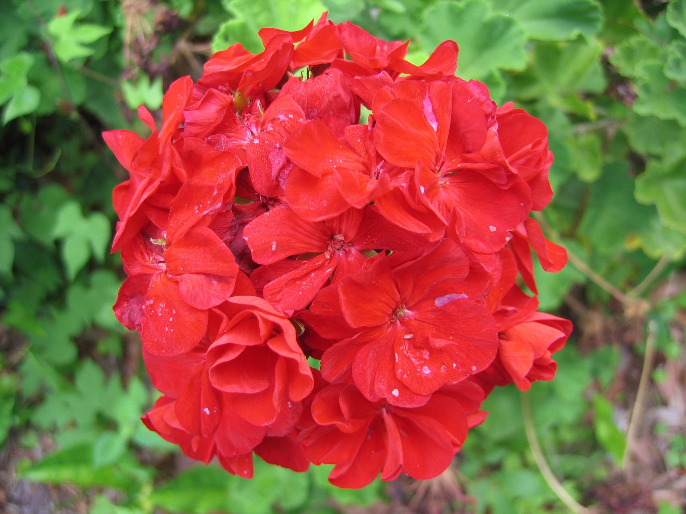 صور ورد جميله Unidentified_Red_Flowers