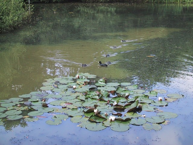 Waterlilies and Coots on Connaught Water - geograph.org.uk - 921372