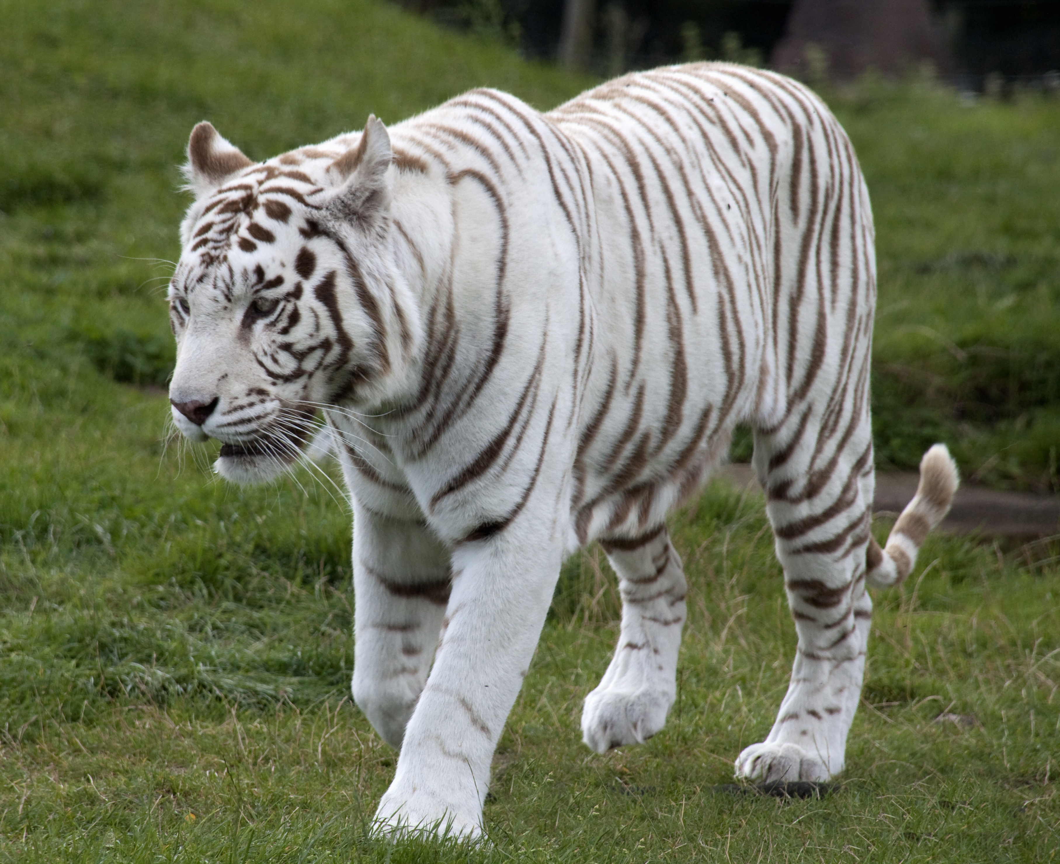 White Bengal Tiger In The Wild