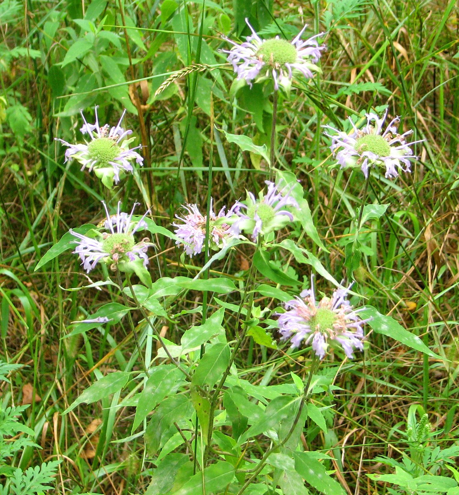 File:Wild Bergamot, Ottawa.jpg - Wikimedia Commons