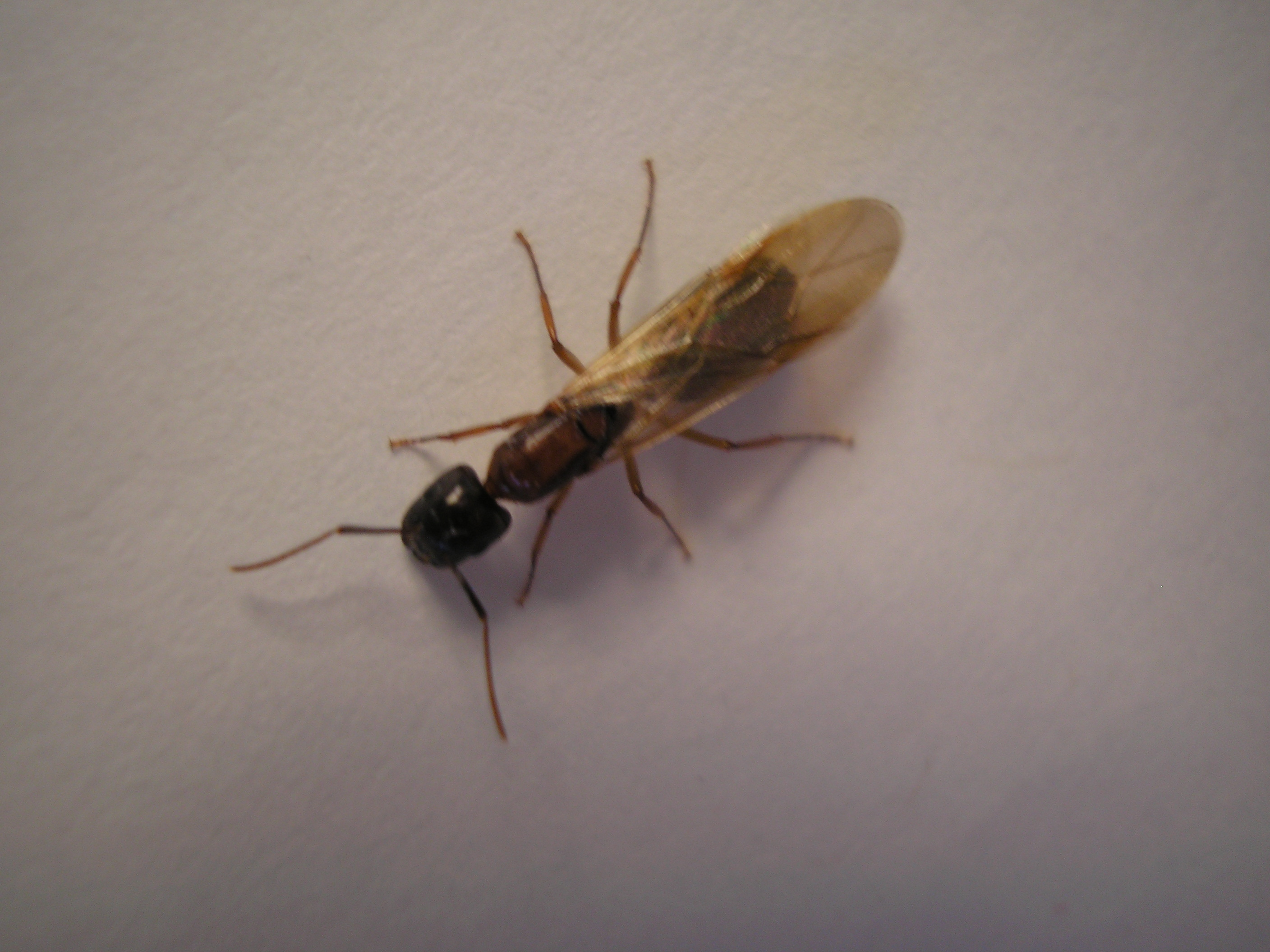 How to kill flying ants insects for Winged ants in bathroom