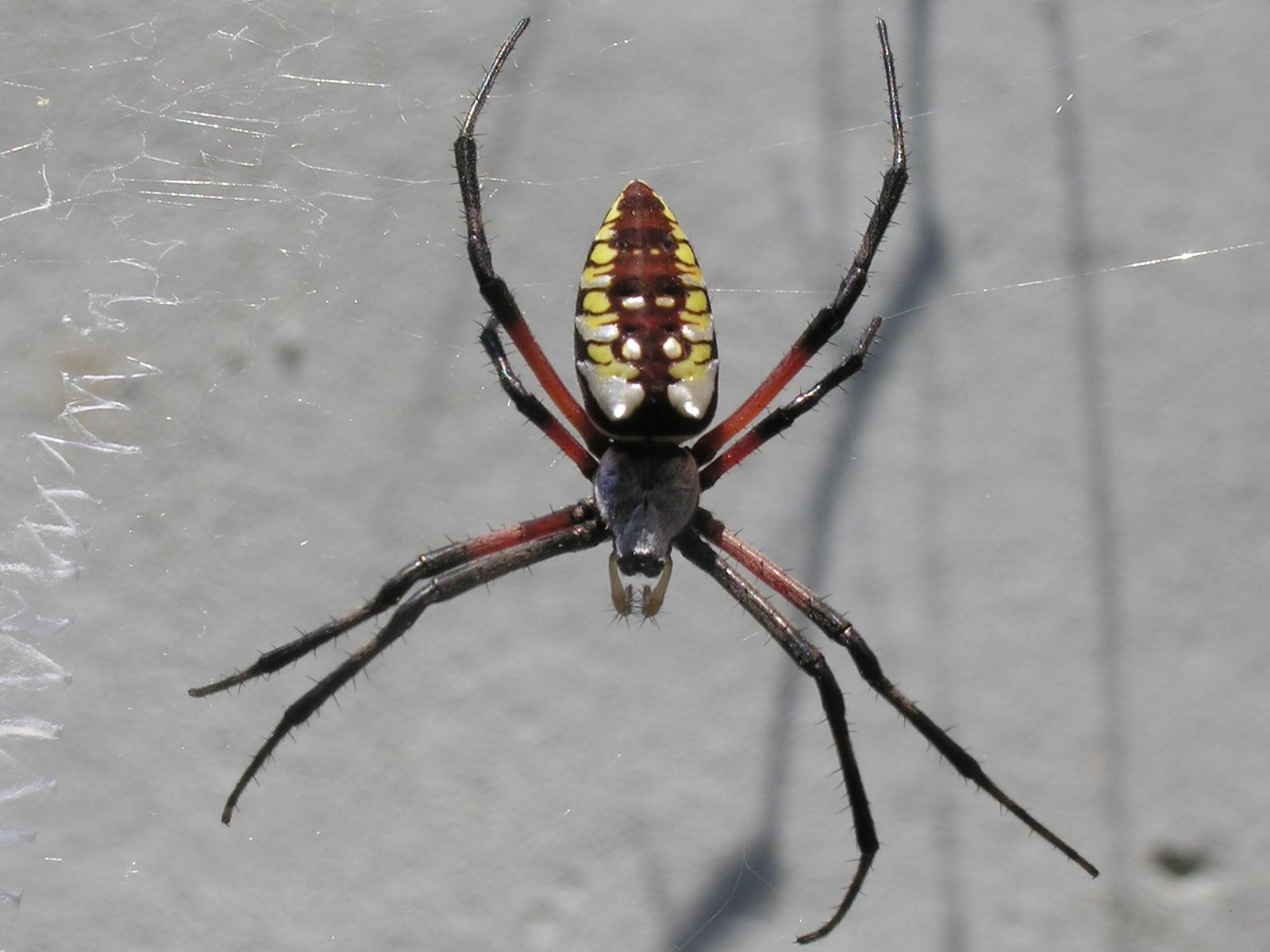 FileYellow garden spider nashvillejpg Wikimedia Commons
