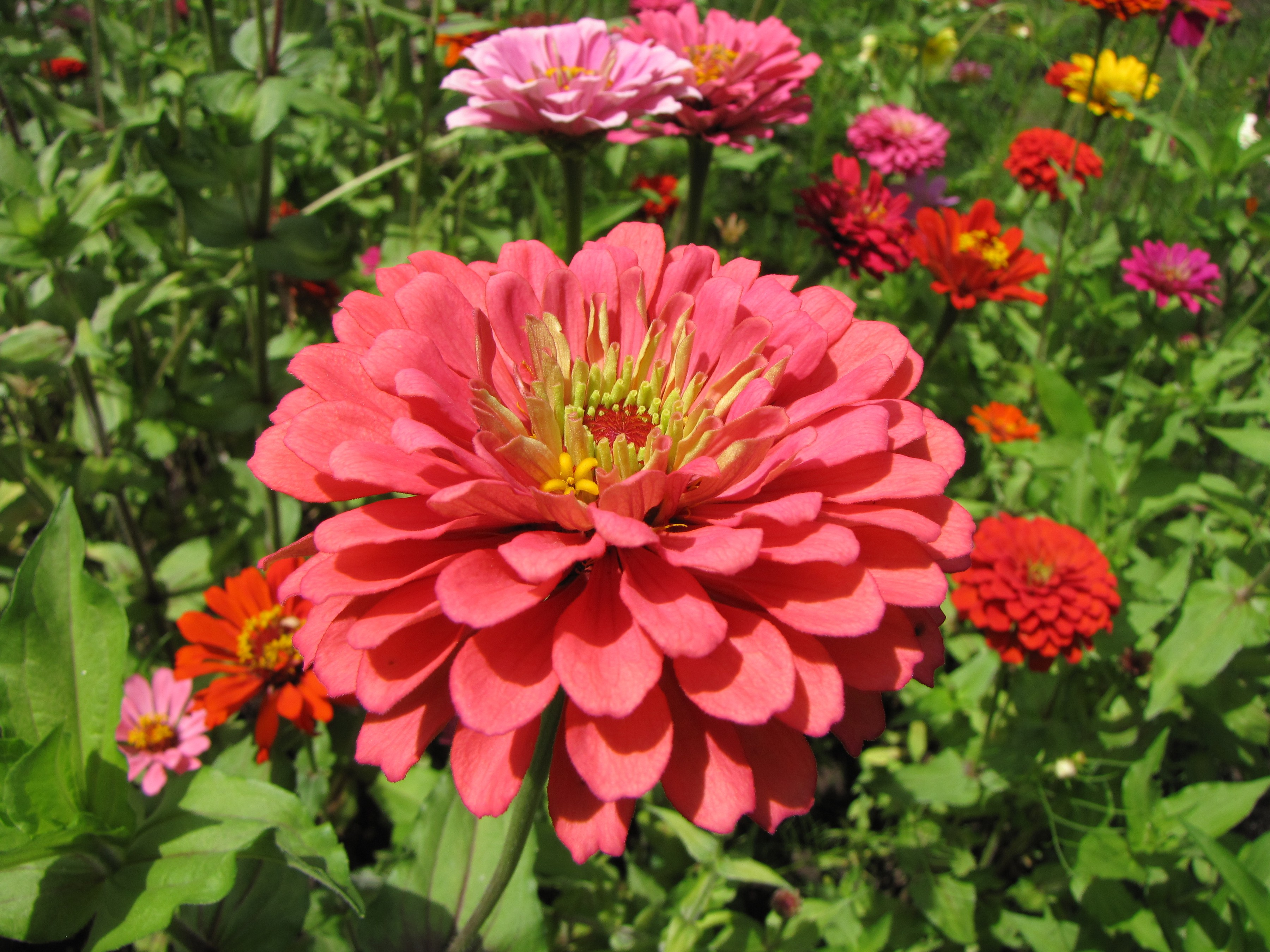 https://upload.wikimedia.org/wikipedia/commons/3/3a/Zinnia_elegans_(pink).jpg