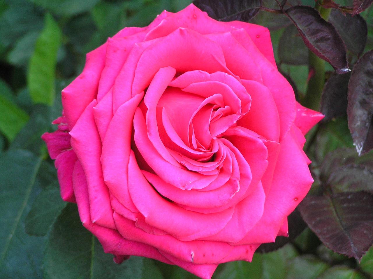 薔薇の画像 p1_28