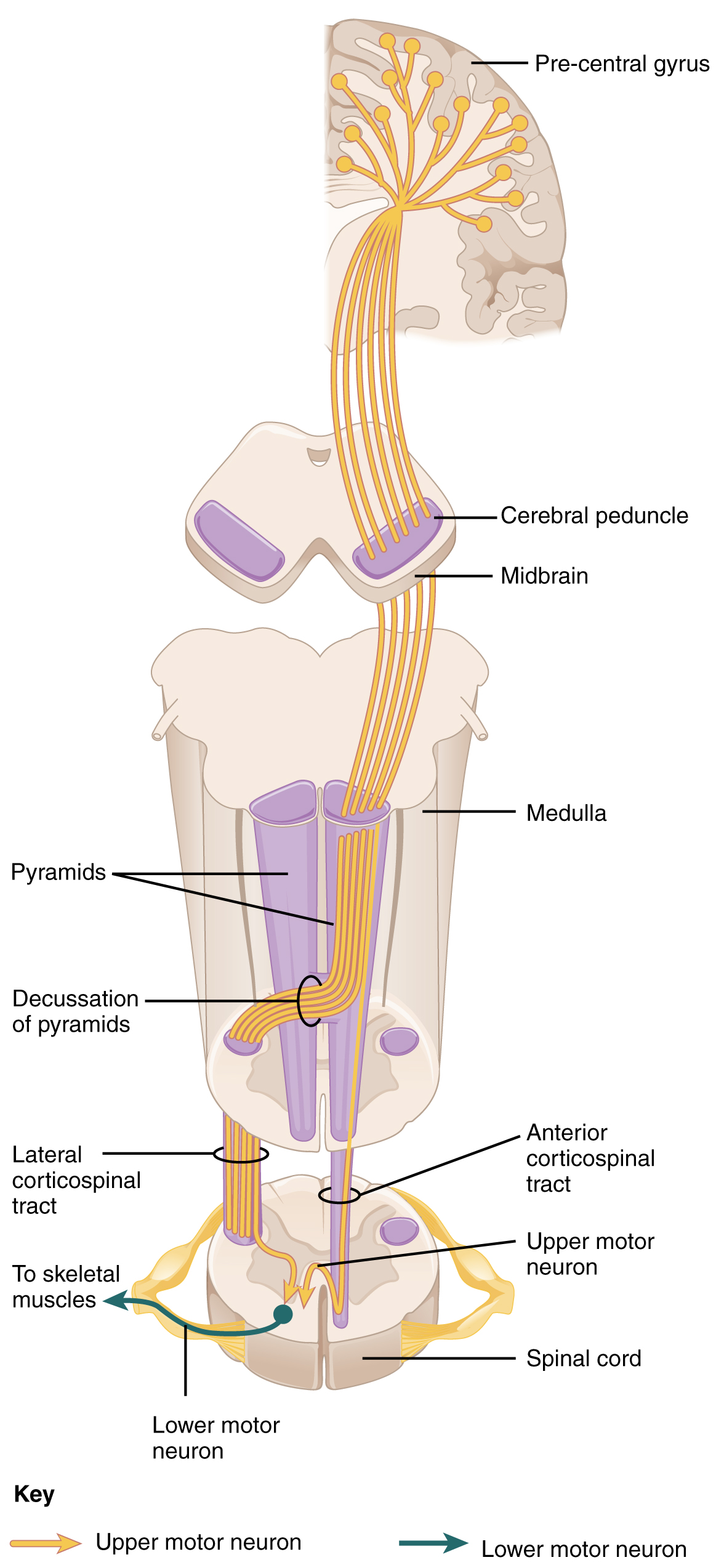 Corticospinal Tract Wikipedia