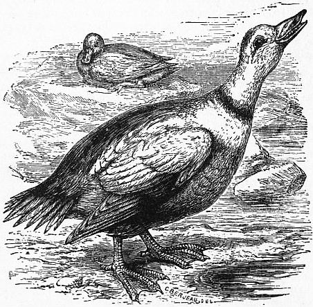 1911 Encyclopædia Britannicabird Wikisource The Free
