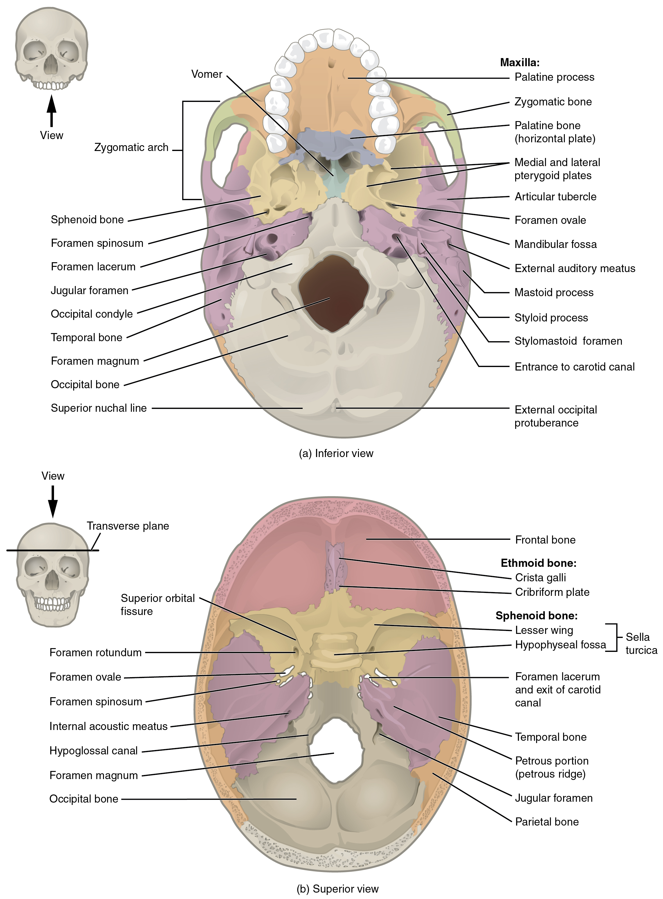 File:707 Superior-Inferior View of Skull Base-01.jpg - Wikimedia Commons