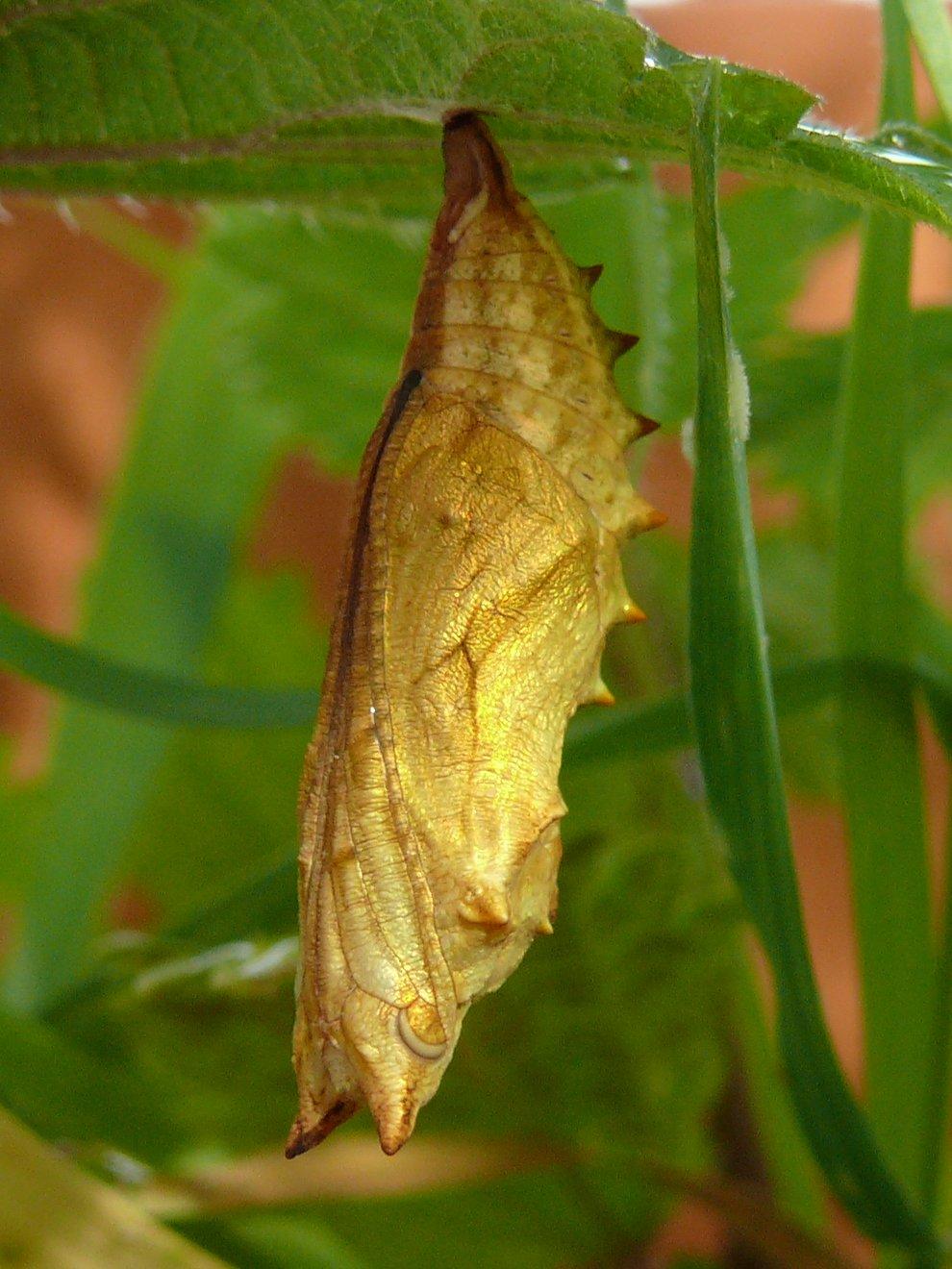 Babôčka pŕhľavová (Aglais urticae) - kukla