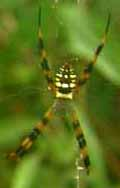 Argiope.picta.messymatt.jpg
