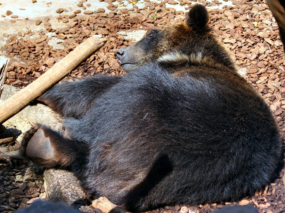 ファイル asiatic black bear jpg wikipedia