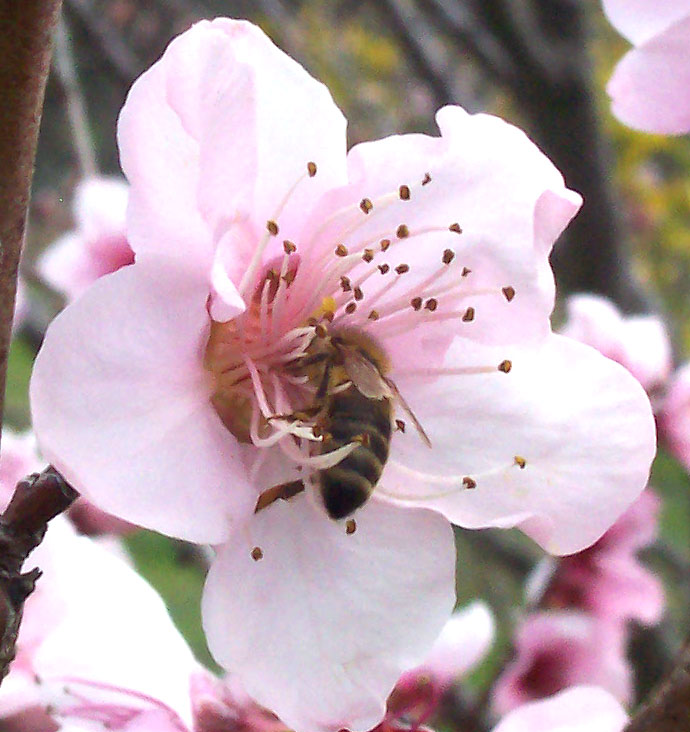 List of northern american nectar sources for honey bees wikipedia mightylinksfo