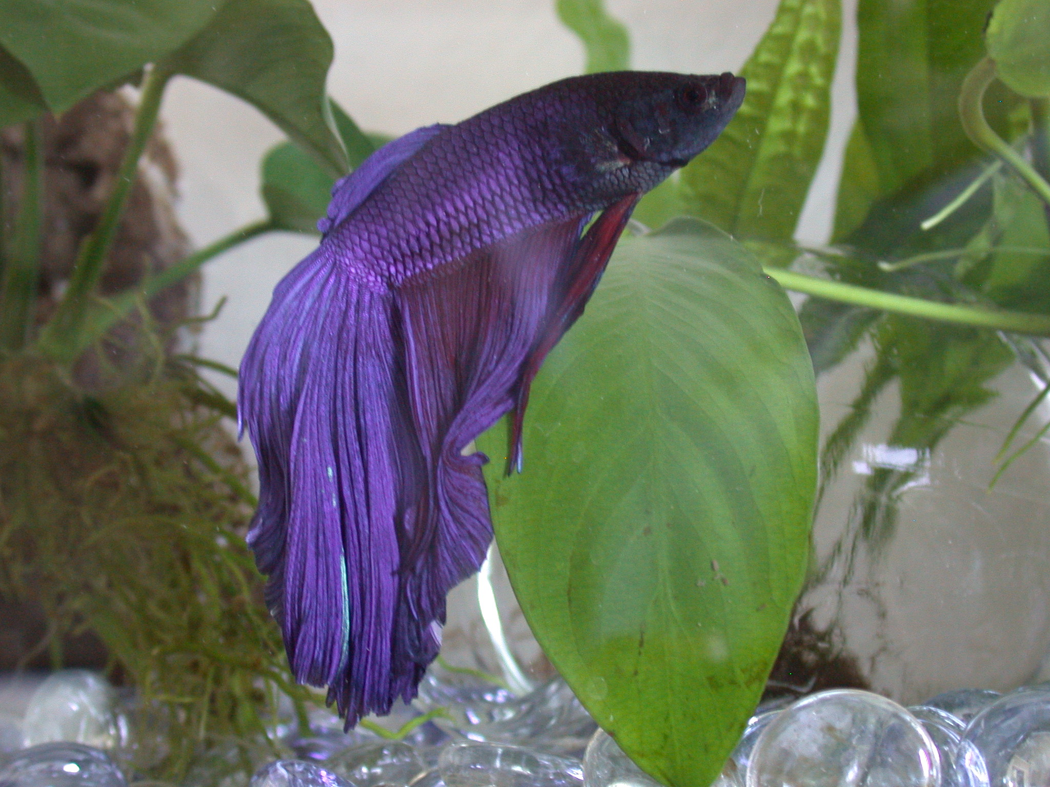 Simon says harold sleeps with the fishes for Purple betta fish