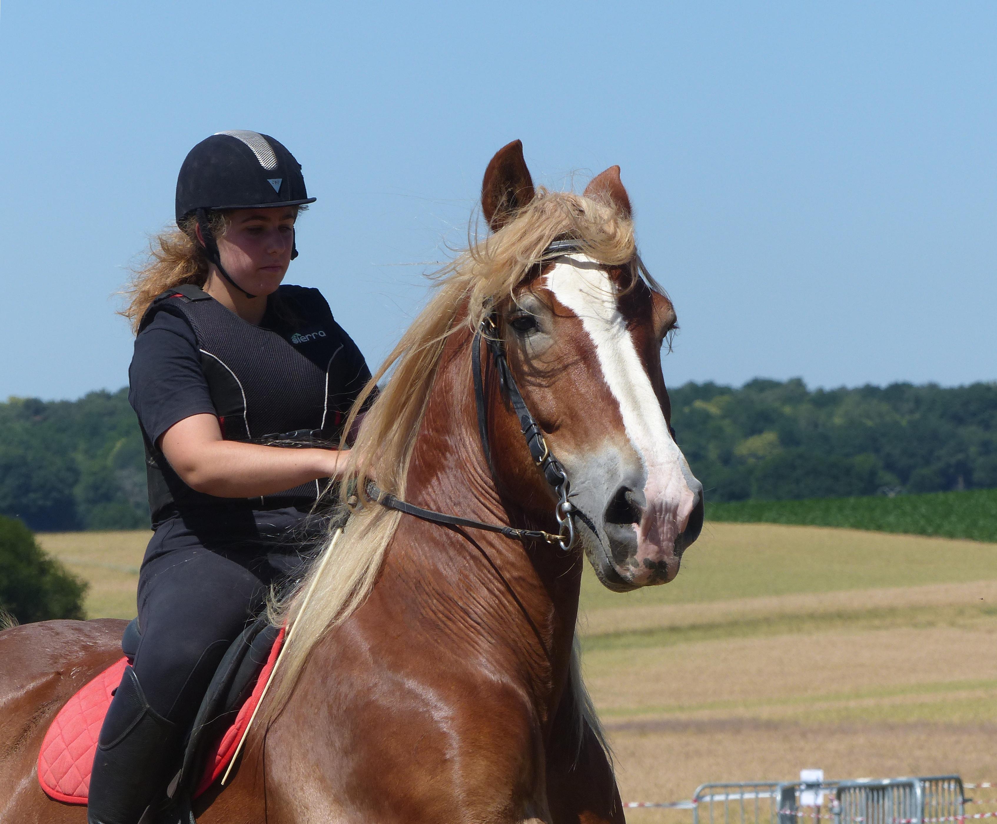 File Breton Draft Horse In Riding Use La Chapelle Gaceline Jpg Wikimedia Commons