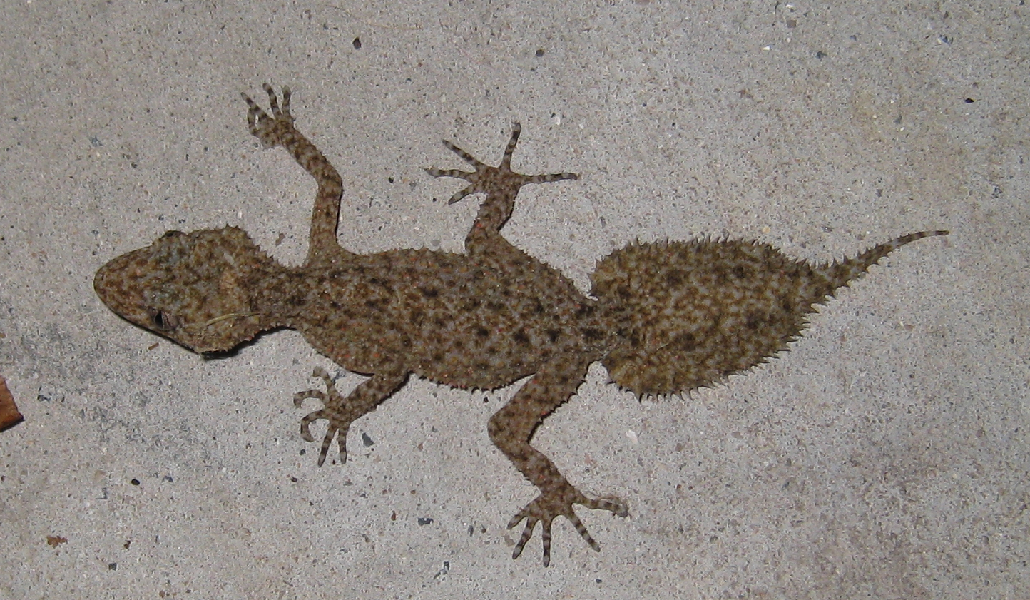 File Broad Tailed Gecko Png Wikimedia Commons