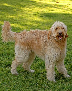 Goldendoodle Dog Names