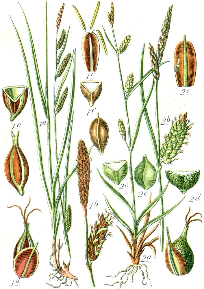 List of Carex species - Wikipedia