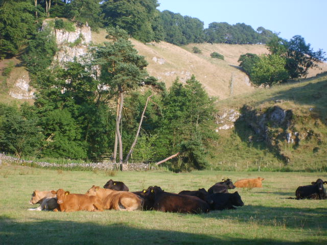 Cattle in Beresford Dale - geograph.org.uk - 414623