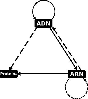 Dogma Central De La Biología Molecular Wikipedia La