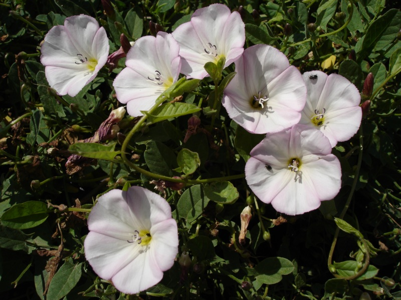 Convolvulus arvensis wikipedia mightylinksfo