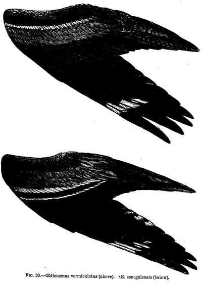 FIG. 20. CEdicnemus venniculatus (above). CE. senegalensis (below).