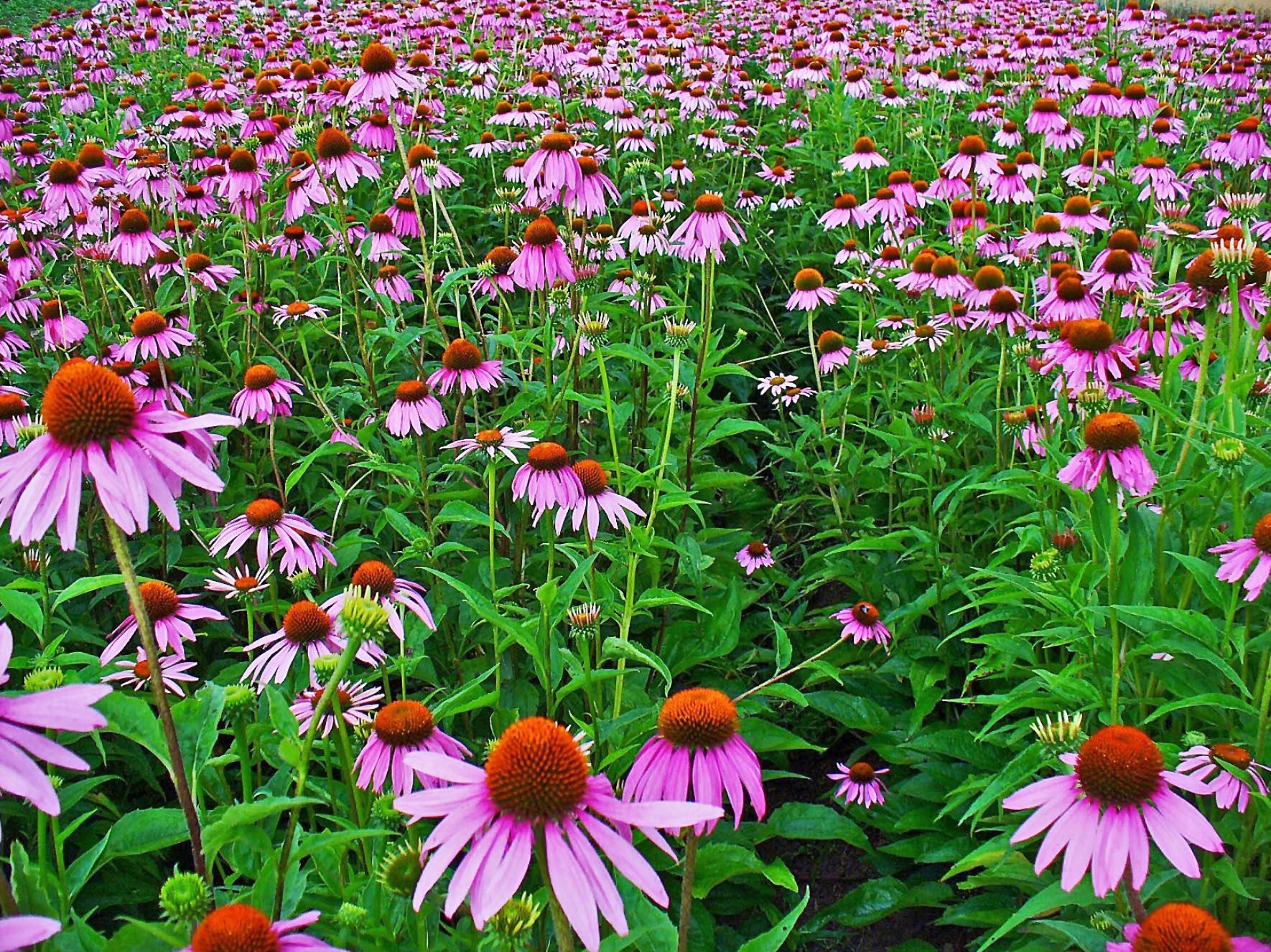 File:Echinacea purpure...