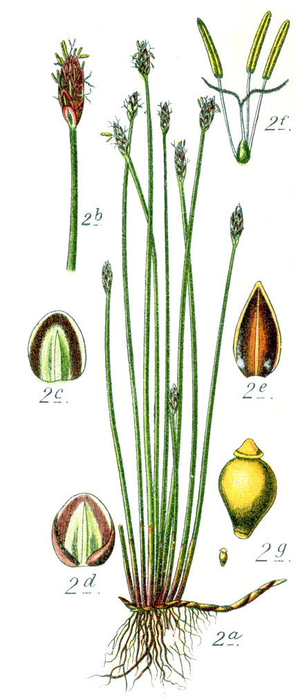 https://upload.wikimedia.org/wikipedia/commons/3/3b/Eleocharis_uniglumis_illustration_%2801%29.jpg