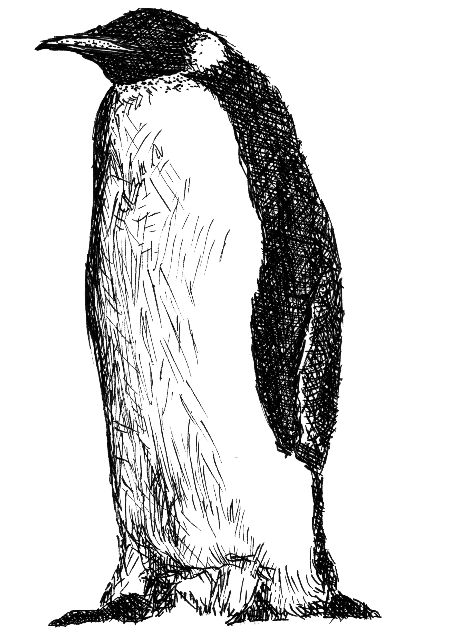 Line Drawing Penguin : File emperor penguin adelieland g wikimedia commons