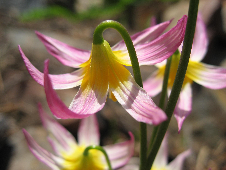 Ранний цветок