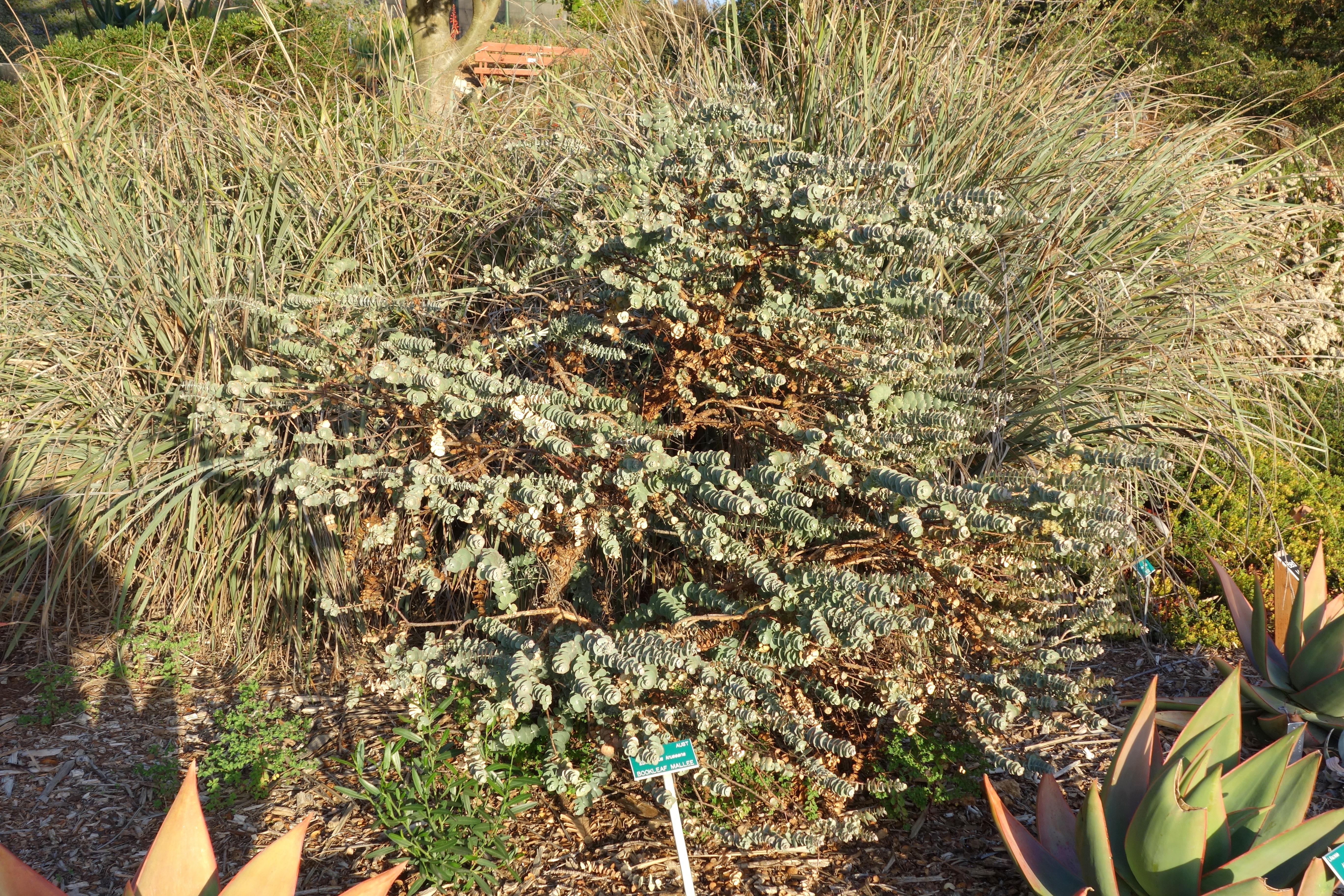 File:Eucalyptus Kruseana   San Luis Obispo Botanical Garden   DSC06025.JPG