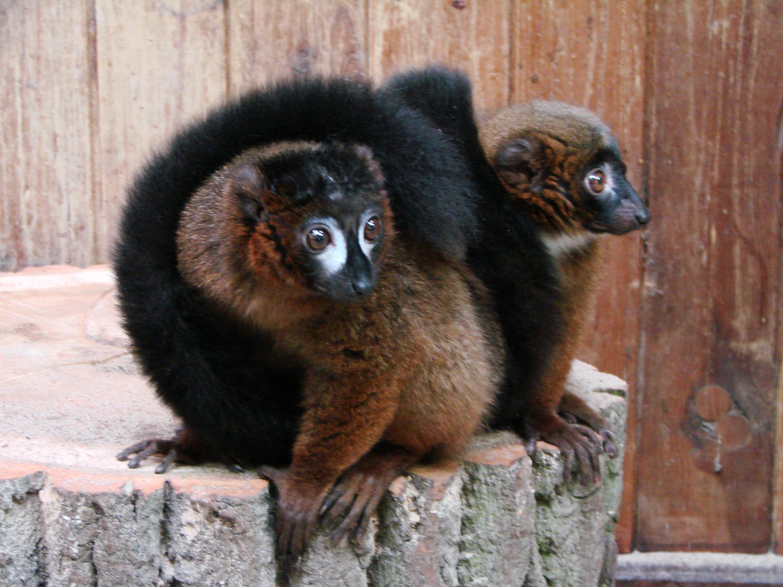 ピグミーネズミキツネザル - Pygmy mouse lemurForgot Password