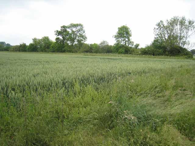 File:Field of wheat near Chetwode - geograph.org.uk - 463050.jpg