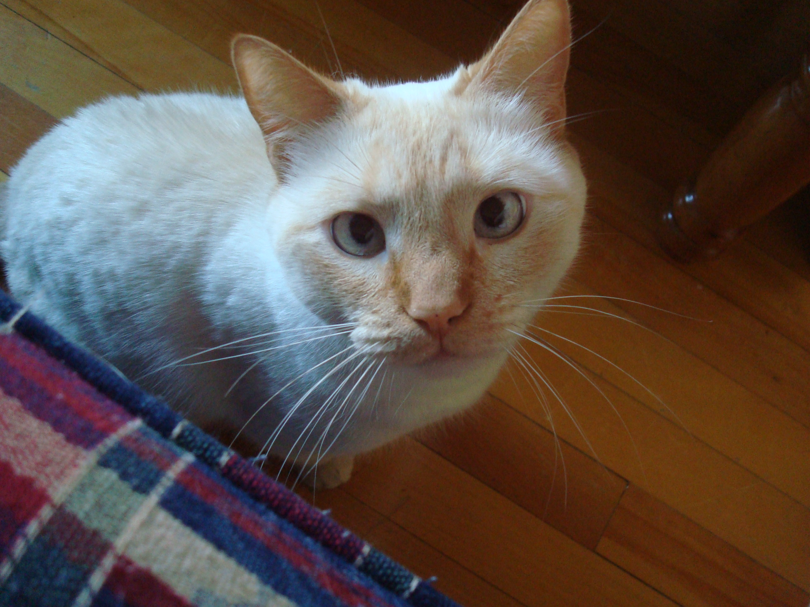 Description Flame Point Siamese.JPG