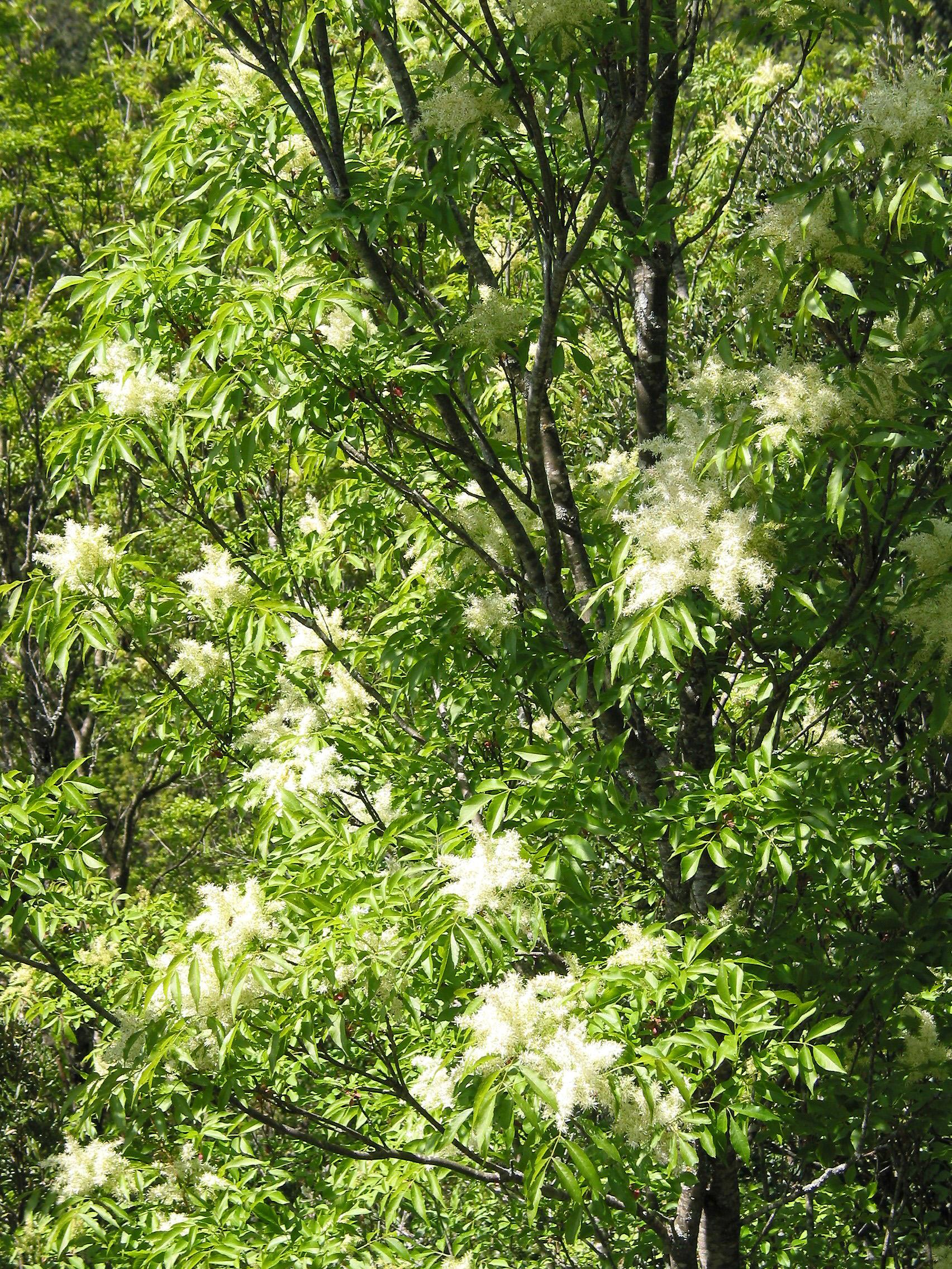 Live tree Fraxinus angustifolia narrow-leafed european ash freixo