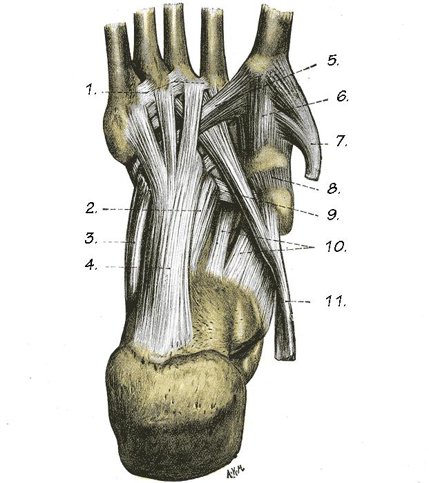 Verlauf Sehne M. peroneus longus