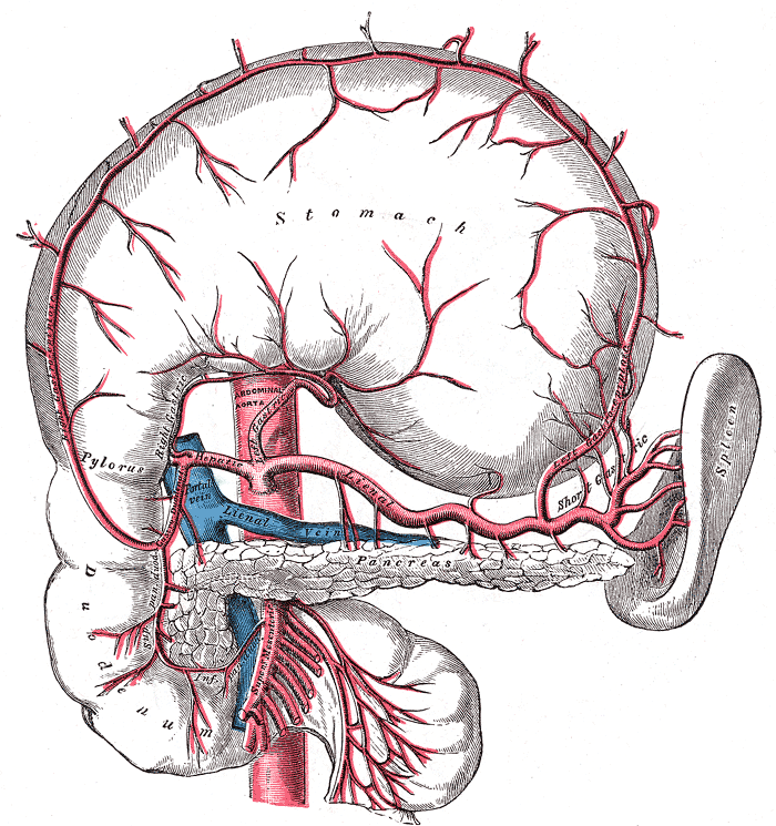 Pancreatic Branches Of Splenic Artery Wikipedia