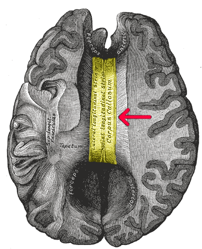 File:Gray 733-emphasizing-corpus-callosum.png - Wikimedia Commons